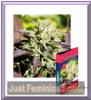 Delicious Caramelo F1 Rapid Fem 5 Cannabis Seeds